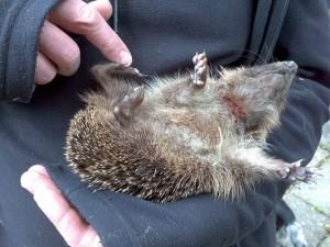 Hedgehog 1